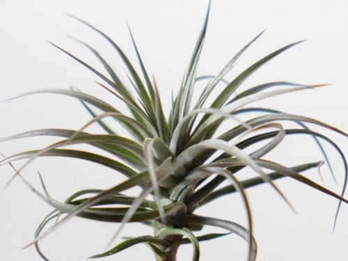 Tillandsia Stricta Stiff Purple