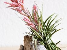 Tillandsia Sucrei Blooming Rare Air Plant Sale