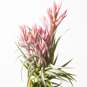 Tillandsia Sucrei Blooming Air Plant Sale