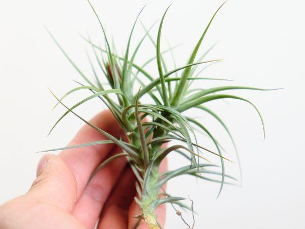 Tillandsia Tenuifolia Open Form