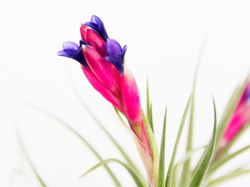 Air Plant Tillandsia Aeranthos Bergeri Blooming Air Plants Pink Purple Blossoms Sale