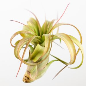 tillandsia_eric_knobloch_3