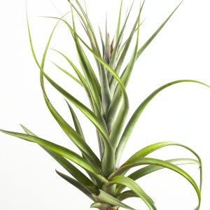tillandsia_kuntziana_kruseana_1