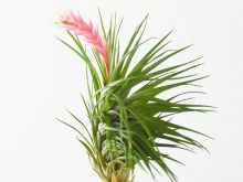 tillandsia_montana_thick_leaf_3_flower