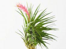 tillandsia_montana_thick_leaf_3_flower
