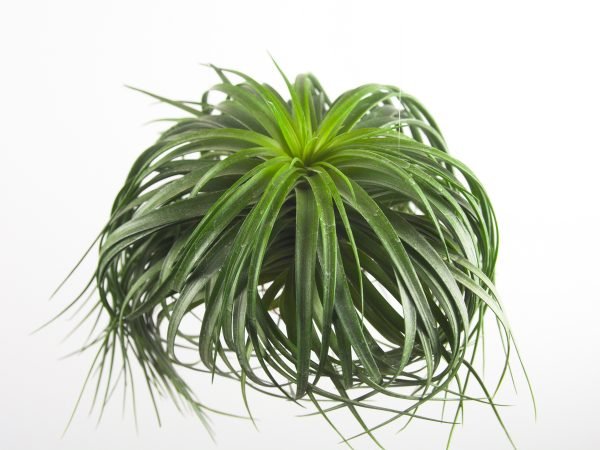 tillandsia_stricta_cousin_it_10