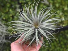 tillandsia_stricta_iridescent_1