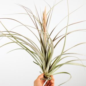 tillandsia_zacapenensis_x_floridiana_1