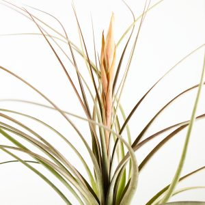 tillandsia_zacapenensis_x_floridiana_2
