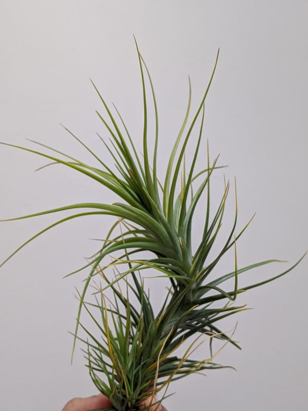 Tillandsia Caulescens Air Plant Spiky Indoor Plants