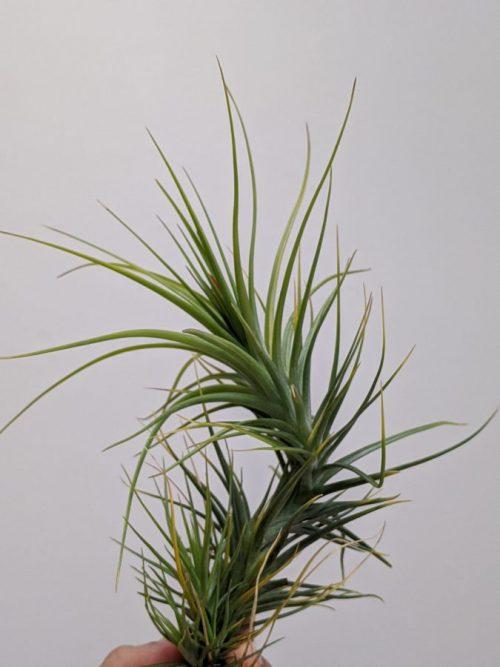 Tillandsia Caulescens Air Plant Spiky Indoor Plants