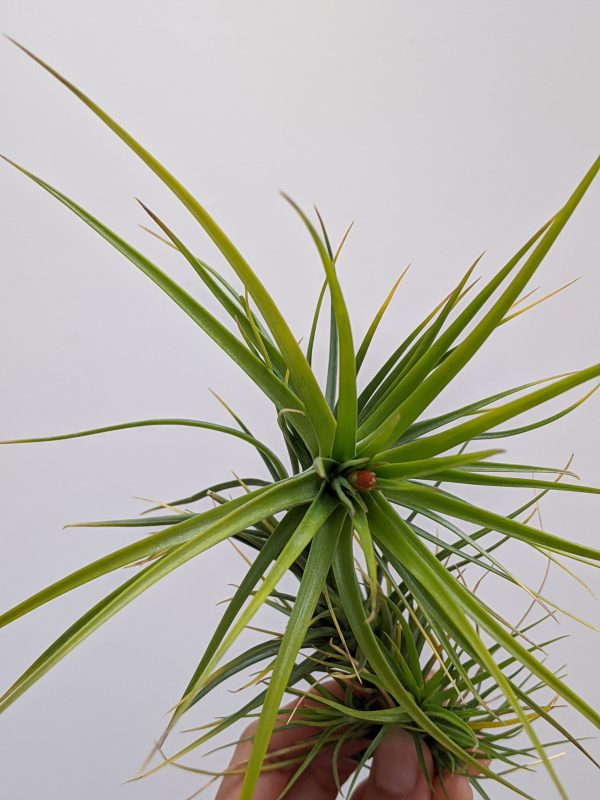 Tillandsia Caulescens With Red Flower Budding Air Plants