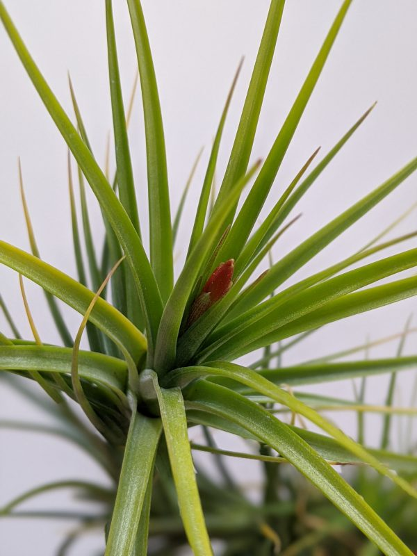 Budding Air Plant Tillandsia Caulescens For Sale