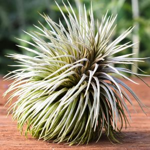 tillandsia_Atroviridipetala_Large_Form_1
