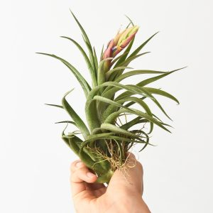 tillandsia_Harrisii_x_Achyrostachys_6