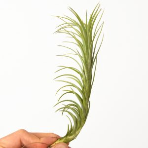 tillandsia_araujei_closed_form_2