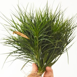 tillandsia_caulescens_specimen_1a