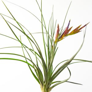 tillandsia_chlorophylla_1