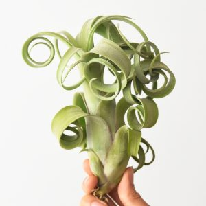 tillandsia_curly_slim_2a