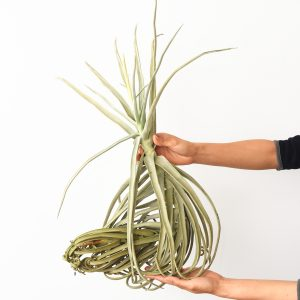 tillandsia_duratii_XXL_2e