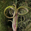 tillandsia_intermedia_5