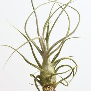 tillandsia_pruinosa_giant_4