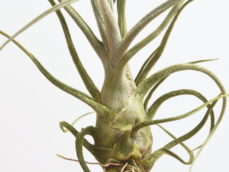 Tillandsia Pruinosa Large Form Air Plants
