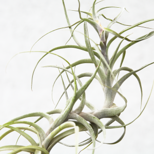 tillandsia_queroensis_tall_air_plant_2