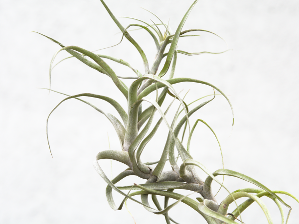 tillandsia_queroensis_tall_air_plant_3