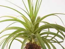Large Air Plant Tillandsia Rothii Wholesale