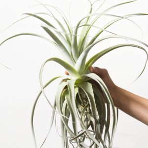 tillandsia_straminea_thick_leaf_5