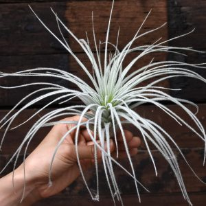 tillandsia_tectorum_peru_1f