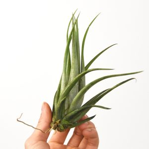 tillandsia_weberi_2