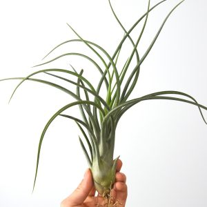 tillandsia_bulbosa_x_pueblensis_1
