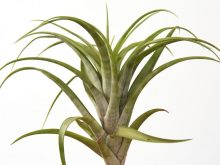 tillandsia_flexuosa_2