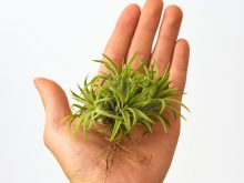 tillandsia_ionantha_peach_clump_2