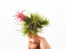 tillandsia_peanut_fuego_clump_air_plant_xl_2