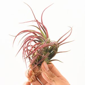 Red Air Plant Tillandsia Pruinosa X Scaposa Colorful Air Plants For Sale-2