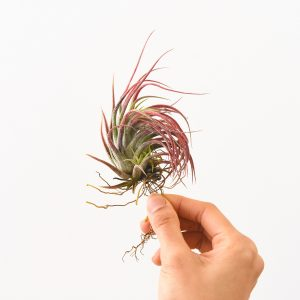 Colorful Red Air Plant Tillandsia Pruinosa X Scaposa For Sale