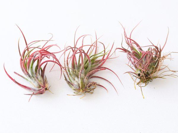 Colorful Air Plants Tillandsia Pruinosa X Scaposa