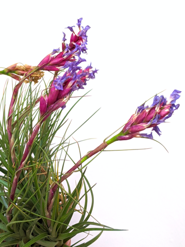 Blooming LARGE Air Plant Tillandsia Aearanthos Specimen Air Plants Clump Cluster Sale