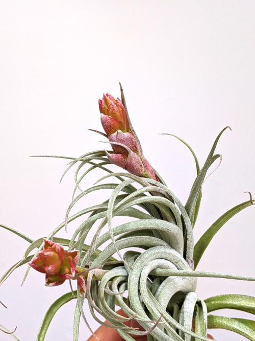 Tillandsia Recurvifolia X Gardneri LARGE Air plant Sale Tropical Rainforest Air Plants
