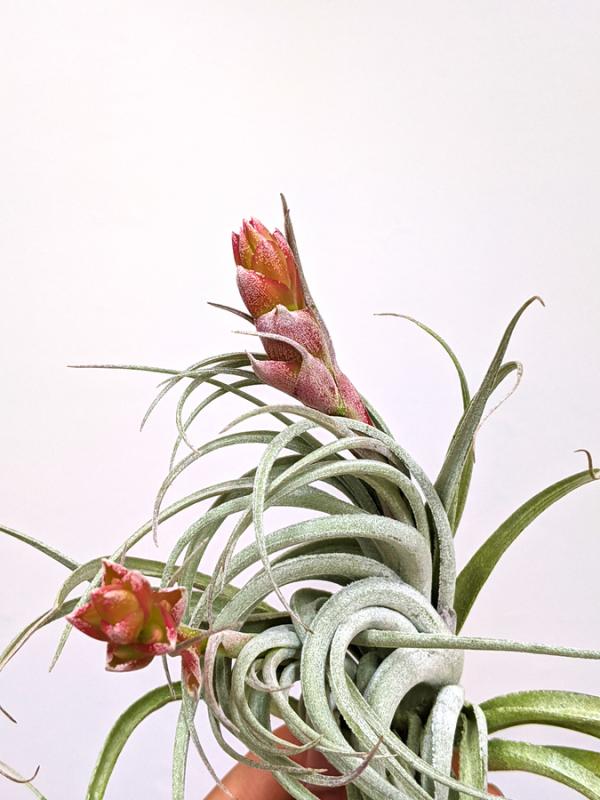 Tillandsia Recurvifolia X Gardneri LARGE Air plant Sale Tropical Rainforest Air Plants
