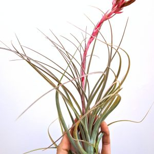 LARGE Air Plant Tillandsia X Floridiana Rose Giant Airplant Hanging Plants Sale