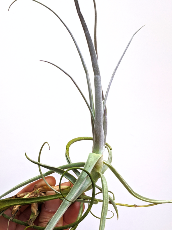 Hanging Air Plant Tillandsia Streptocarpa Large Air Plants Sale Airplant