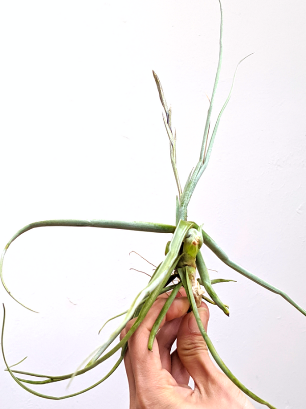Curly Air Plant Tillandsia Streptocarpa LARGE Air Plants Sale Airplant Airplants