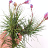 LARGE Blooming Air Plant Tillandsia Aearanthos Specimen Air Plants Clump Cluster Sale