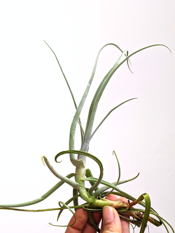 Cheap Large Ari Plants Tillandsia Streptocarpa Airplant Air Plants Sale