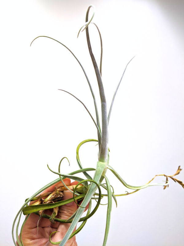 Tillandsia Streptocarpa Large Air Plant Hanging Wall Plant