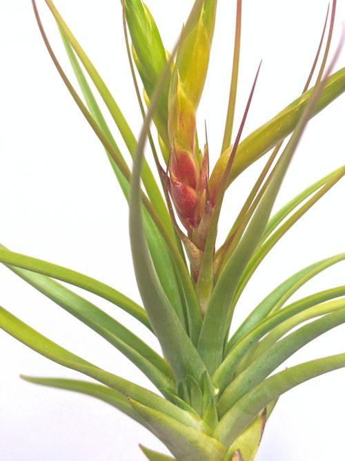 LARGE Tillandsia Concolor Colorful Air Plant Hanging Plants Sale
